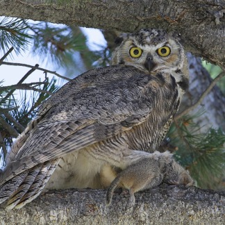great-horned-owl-869174_960_720