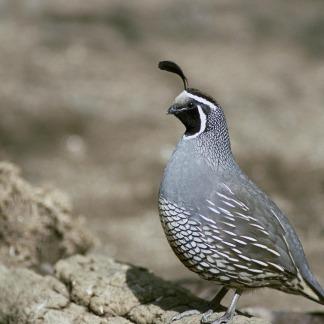 quail-387048_960_720